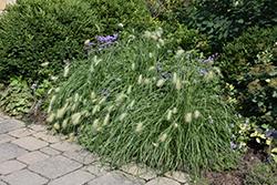 Feathertop Grass (Pennisetum villosum) at Roger's Gardens