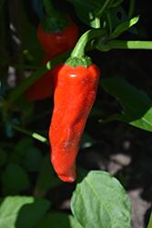 Red Ember Hot Pepper (Capsicum annuum 'Red Ember') at Roger's Gardens