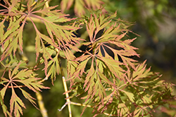 Ice Dragon Maple (Acer 'IsliD') at Roger's Gardens