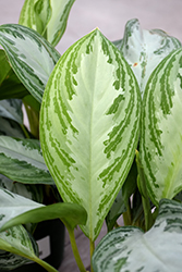 Silver Bay Chinese Evergreen (Aglaonema 'Silver Bay') at Roger's Gardens