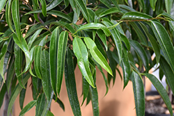 Alii Fig (Ficus maclellandii 'Alii') at Roger's Gardens