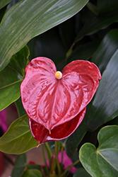 Anthurium (Anthurium andraeanum) at Roger's Gardens