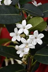 Madagascar Jasmine (Stephanotis floribunda) at Roger's Gardens