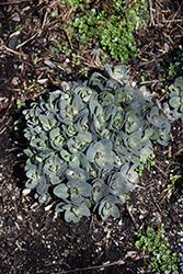 Dynomite Stonecrop (Sedum 'Dynomite') at Roger's Gardens