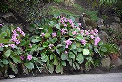 Heartleaf Bergenia (Bergenia cordifolia) at Roger's Gardens