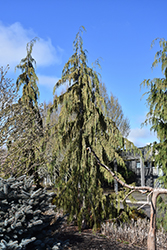 Strict Weeping Nootka Cypress (Chamaecyparis nootkatensis 'Strict Weeping') at Roger's Gardens
