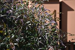 Plum Passion Nandina (Nandina domestica 'Monum') at Roger's Gardens