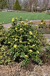 Compact Oregon Grape (Mahonia aquifolium 'Compactum') at Roger's Gardens