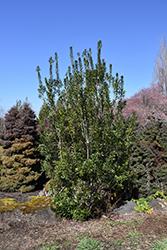 Pacific Wax Myrtle (Myrica californica) at Roger's Gardens