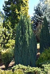 Ellwood's Pillar Lawson Falsecypress (Chamaecyparis lawsoniana 'Ellwood's Pillar') at Roger's Gardens