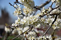 Satsuma Plum (Prunus 'Satsuma') at Roger's Gardens