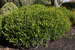 Green Beauty Boxwood (Buxus 'Green Beauty') at Roger's Gardens