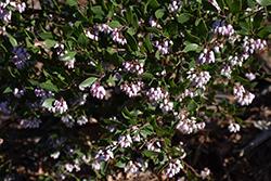 Howard McMinn Manzanita (Arctostaphylos densiflora 'Howard McMinn') at Roger's Gardens