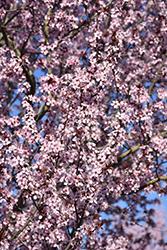 Krauter Vesuvius Plum (Prunus cerasifera 'Krauter Vesuvius') at Roger's Gardens