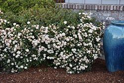 Spring Bouquet Viburnum (Viburnum tinus 'Spring Bouquet') at Roger's Gardens