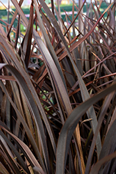 Amazing Red New Zealand Flax (Phormium 'Amazing Red') at Roger's Gardens