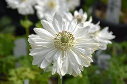 Harmony Double White Anemone (Anemone 'Harmony Double White') at Roger's Gardens