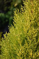 Wilma Goldcrest Monterey Cypress (Cupressus macrocarpa 'Wilma Goldcrest') at Roger's Gardens