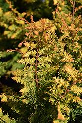 Fernspray Gold Falsecypress (Chamaecyparis obtusa 'Fernspray Gold') at Roger's Gardens