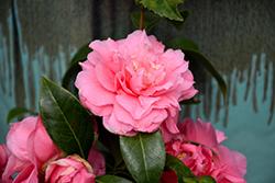 Kumasaka Camellia (Camellia japonica 'Kumasaka') at Roger's Gardens