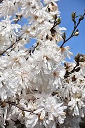Royal Star Magnolia (Magnolia stellata 'Royal Star') at Roger's Gardens