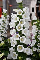 Champion White Canterbury Bells (Campanula 'Champion White') at Roger's Gardens