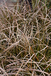 Autumn Sedge (Carex dipsacea) at Roger's Gardens