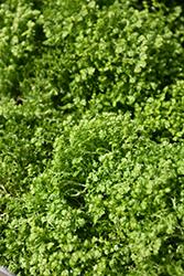Brownii Spikemoss (Selaginella kraussiana 'Brownii') at Roger's Gardens