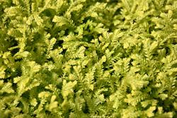 Golden Spikemoss (Selaginella kraussiana 'Aurea') at Roger's Gardens