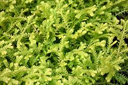 Gold Tips Spikemoss (Selaginella kraussiana 'Gold Tips') at Roger's Gardens