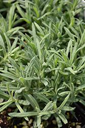 Blue Star Spanish Lavender (Lavandula stoechas 'Blue Star') at Roger's Gardens