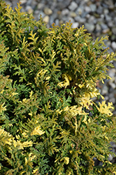 Nana Variegata Falsecypress (Chamaecyparis pisifera 'Nana Variegata') at Roger's Gardens