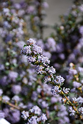 Blue Jeans California Lilac (Ceanothus 'Blue Jeans') at Roger's Gardens