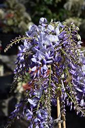 Texas Purple Japanese Wisteria (Wisteria floribunda 'Texas Purple') at Roger's Gardens