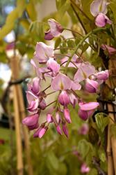 Shiro-Beni Silky Wisteria (Wisteria brachybotrys 'Shiro-Beni') at Roger's Gardens