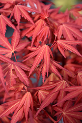 First Flame Maple (Acer 'IslFirFl') at Roger's Gardens