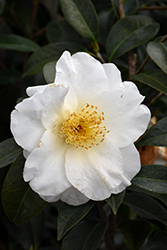 Silver Waves Camellia (Camellia japonica 'Silver Waves') at Roger's Gardens