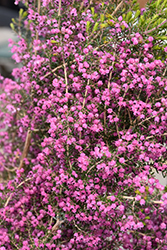 Channelled Heath (Erica canaliculata) at Roger's Gardens
