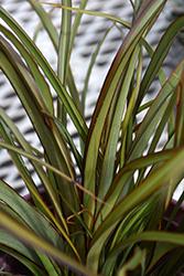 Tom Thumb New Zealand Flax (Phormium tenax 'Tom Thumb') at Roger's Gardens