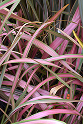 Jester New Zealand Flax (Phormium 'Jester') at Roger's Gardens