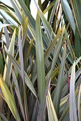Dusky Chief New Zealand Flax (Phormium 'Dusky Chief') at Roger's Gardens
