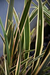 Duet New Zealand Flax (Phormium 'Duet') at Roger's Gardens