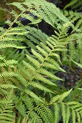 Soft Tree Fern (Dicksonia antarctica) at Roger's Gardens