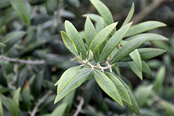 Haas Improved Manzanillo European Olive (Olea europaea 'Haas Improved Manzanillo') at Roger's Gardens