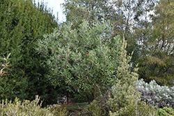Royal Grevillea (Grevillea victoriae) at Roger's Gardens