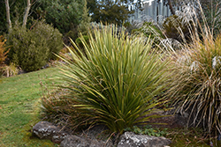 Cabbage Palm (Cordyline australis) at Roger's Gardens