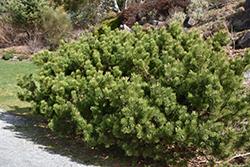 Compact Mugo Pine (Pinus mugo 'var. mughus') at Roger's Gardens