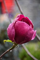 Black Tulip Magnolia (Magnolia 'Black Tulip') at Roger's Gardens