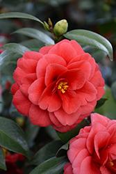 Glen 40 Camellia (Camellia japonica 'Glen 40') at Roger's Gardens