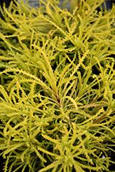 Lemon Fizz Santolina (Santolina rosmarinifolia 'Lemon Fizz') at Roger's Gardens